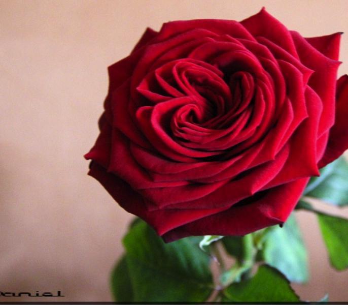 la-rose-noemie.jpg