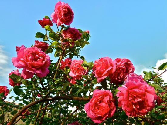 roses-de-printemps.jpg